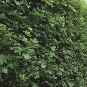 Acer campestre im Sommer